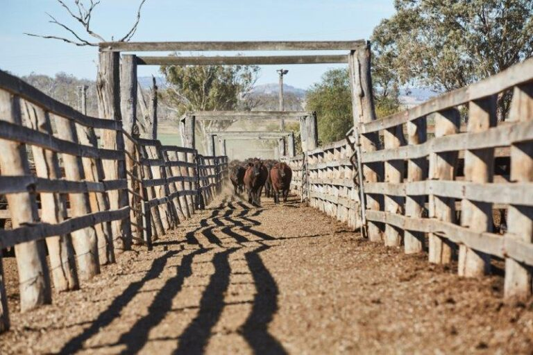 Cattle walking through yard