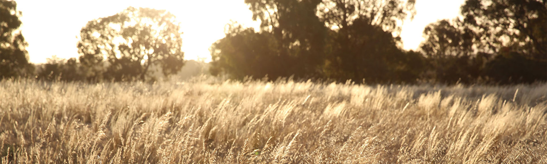 Paddock with golden grass at dawn