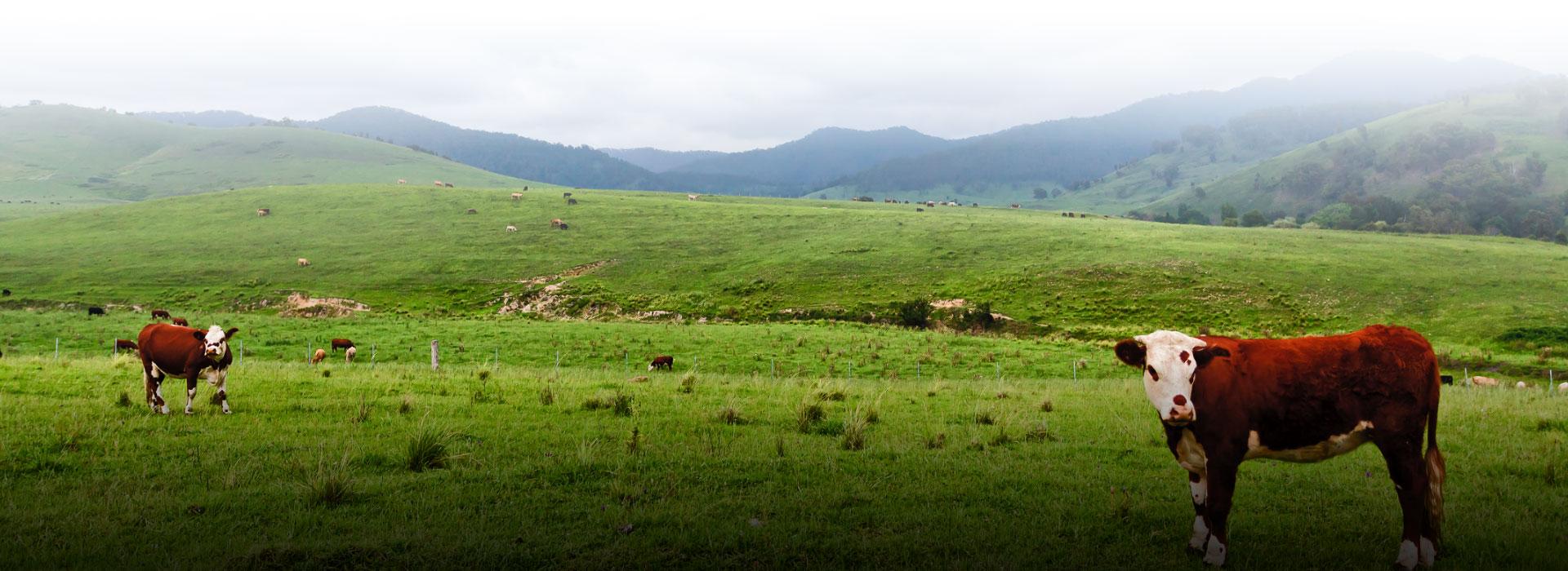 Cattle standing in lush paddocks