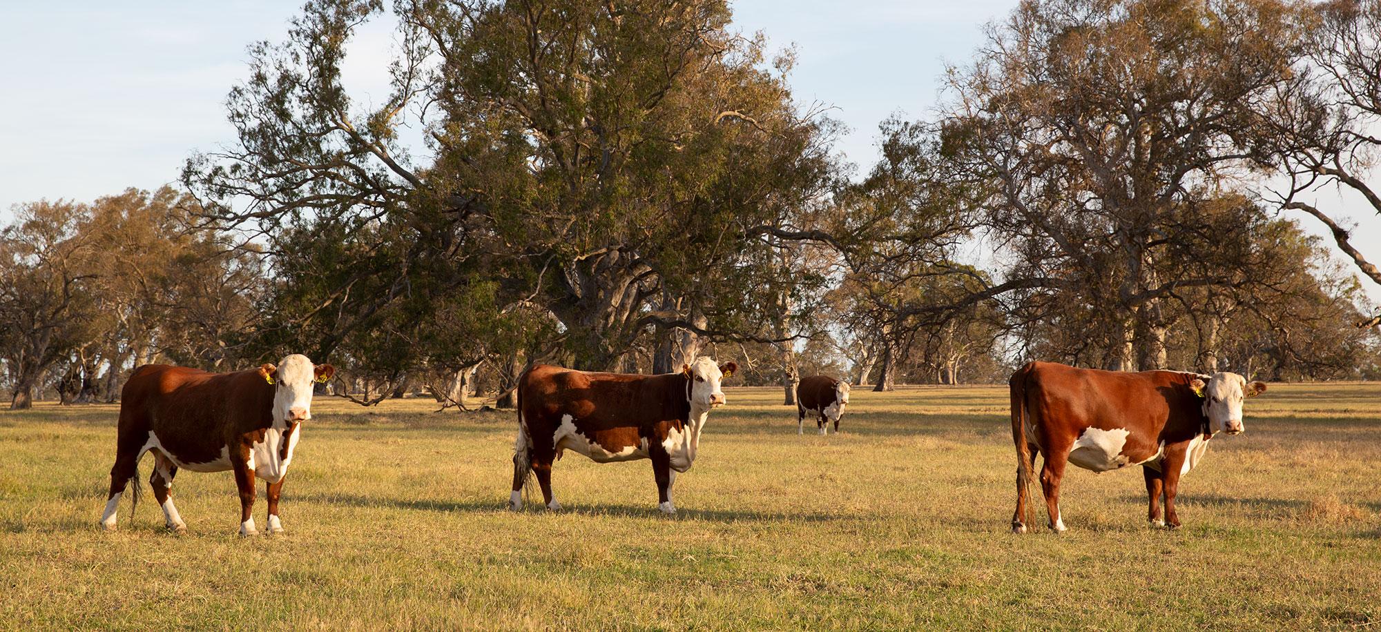 Cattle standing in Australian paddock