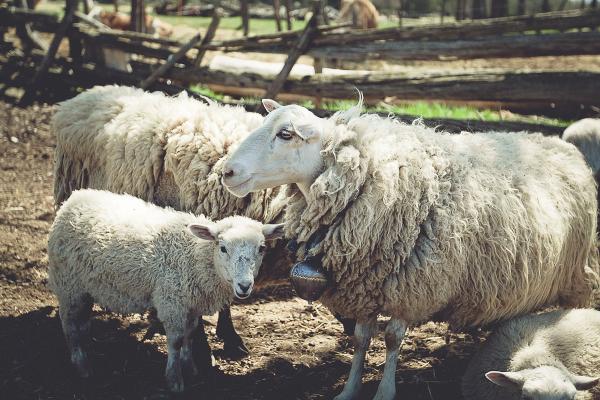 lambs grazing