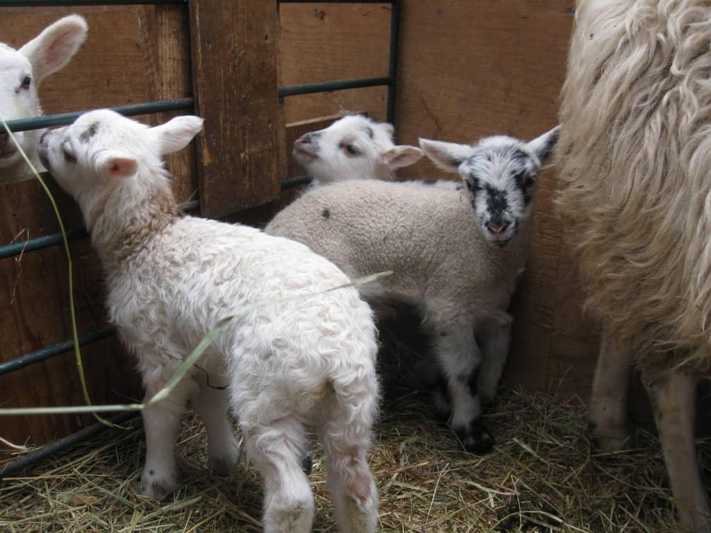 Baby Lambs