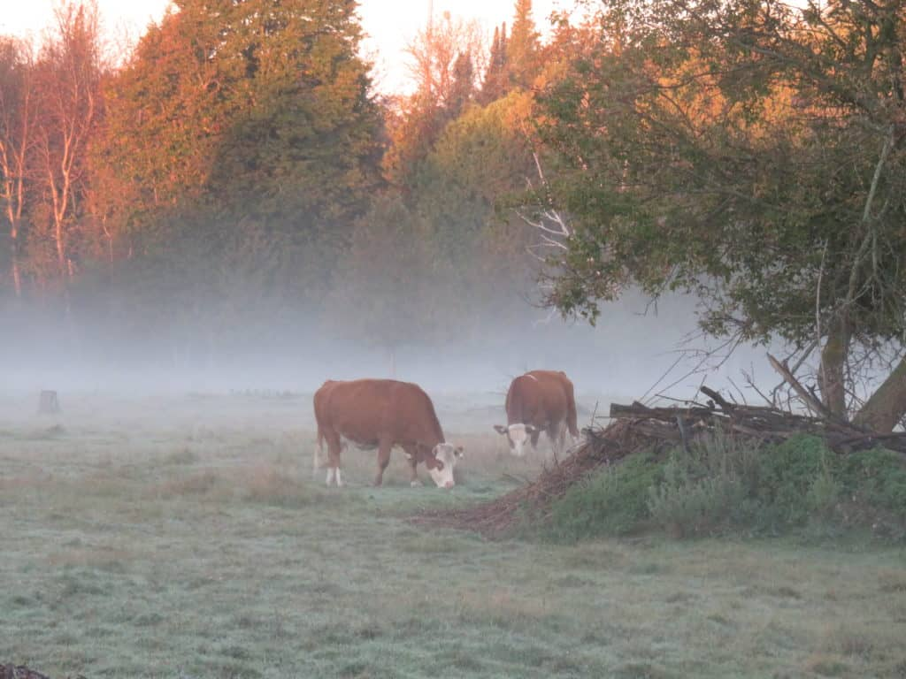 Milkers in the Mist