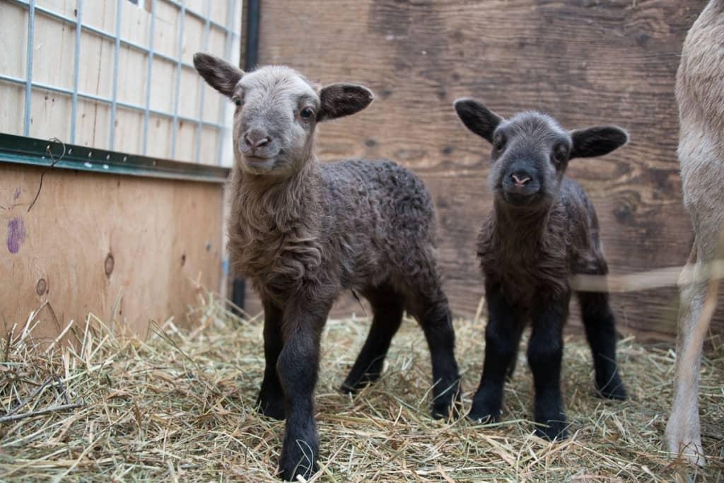 new_sheep1-1024x683