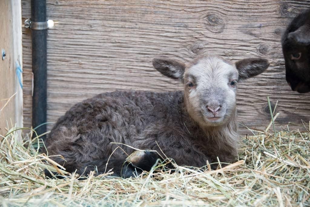 Cute Baby Lamb