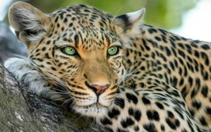 ¿Cómo obtiene sus manchas el leopardo?