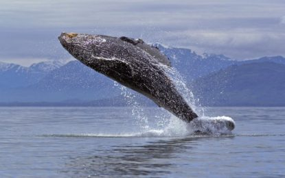 """""""Whales: Giants of the Deep"""" New Traveling Exhibition Opening at Grand Rapids Public Museum in October 2016"""