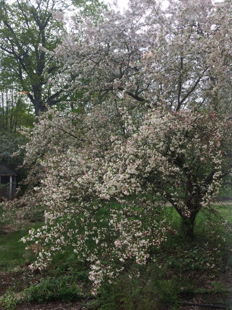 A crabapple tree beginning to flower