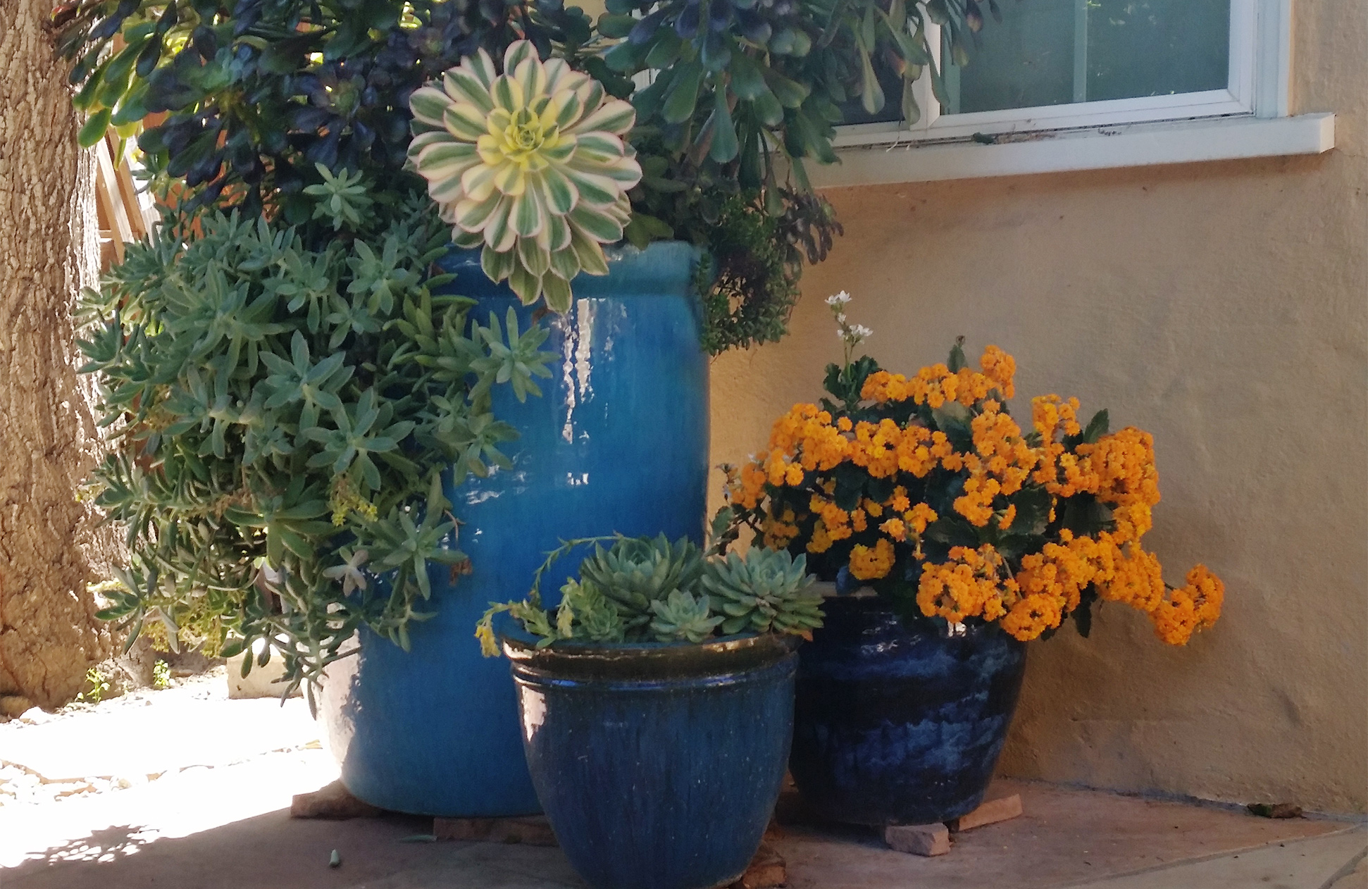 Succulents and flowers in beautiful blue containers, large and medium-sized.