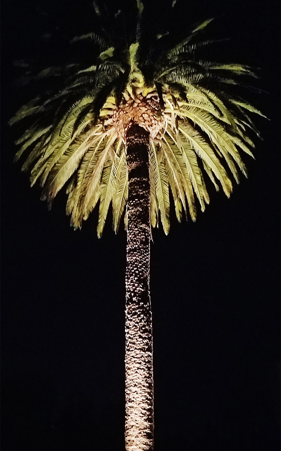 A date palm tree at night illuminated by low voltage lighting
