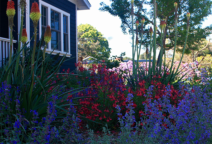 Red hot poker flowers, salvia, lantana flowering and colorful plants in front yard