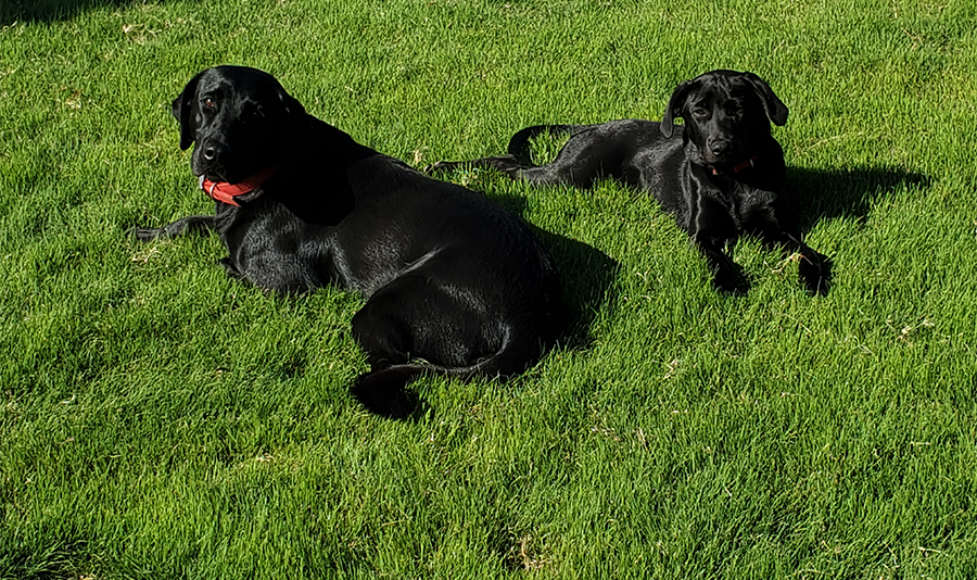 Black lab dogs lounging in the grass