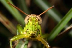 menaching grasshopper