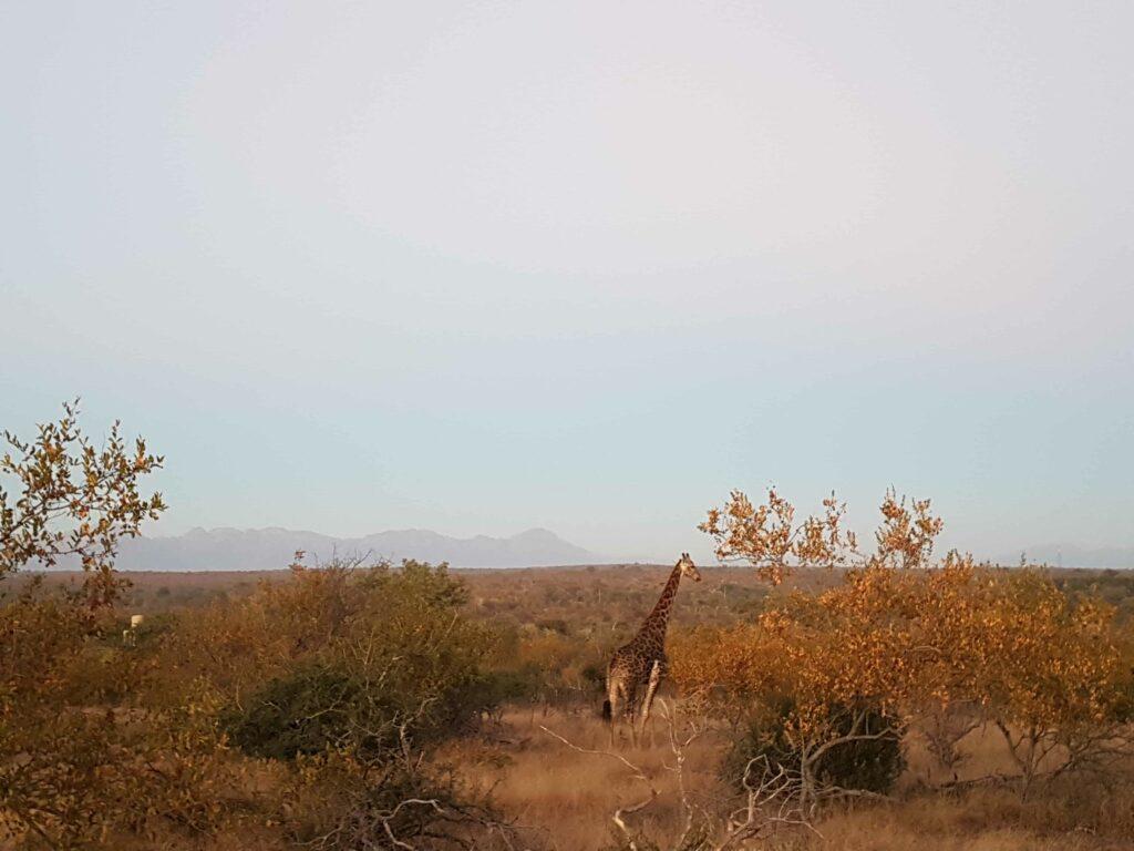 Girafa na savana na África do Sul