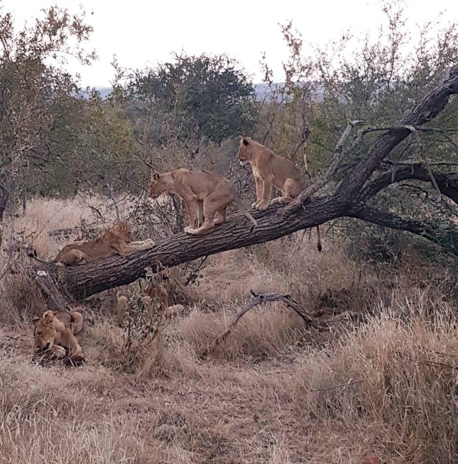 Leões em árvore, safári na África do Sul