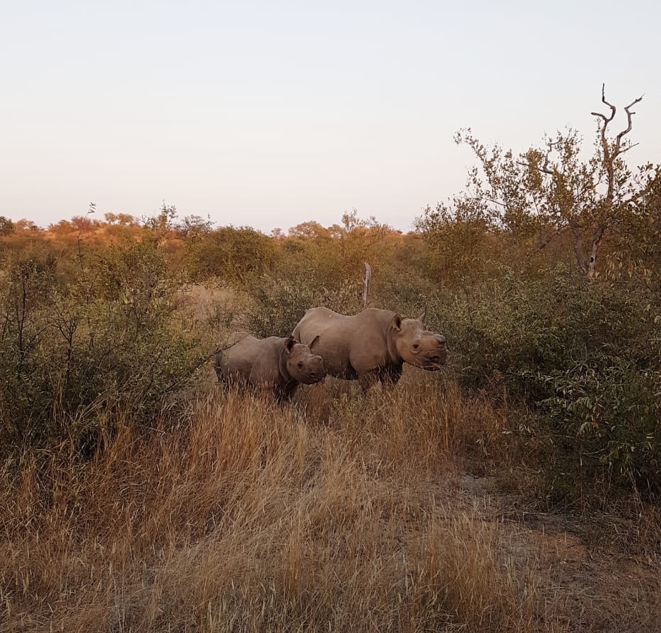 Dois rinocerontes em savana na África do Sul