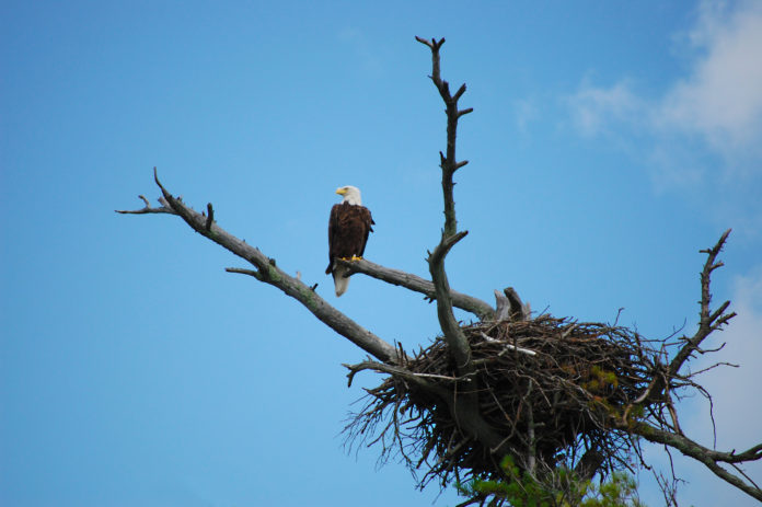 Eagle in tree by nest in Smoky Mountains Sevier County, Tennesee