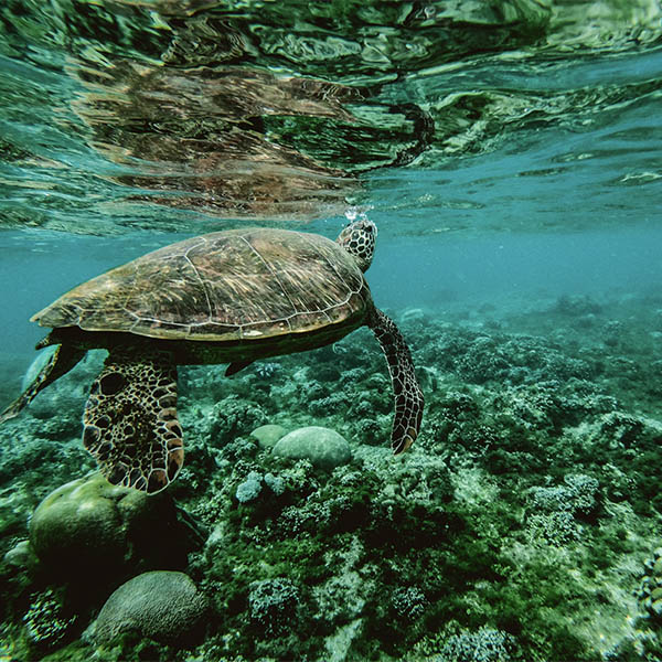 gallery_0000_photo-of-a-turtle-underwater-847393