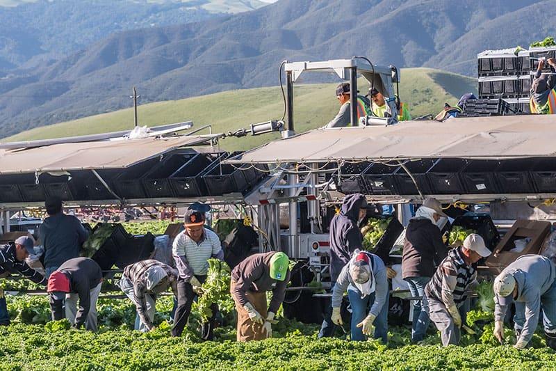 people harvesting a crop