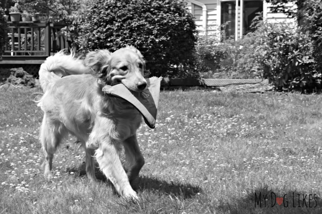 Our Golden Retriever Charlie playing with a Chuckit! Heliflight