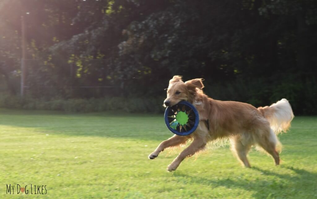 Our Golden Retriever Charlie running free and fetching his frisbee