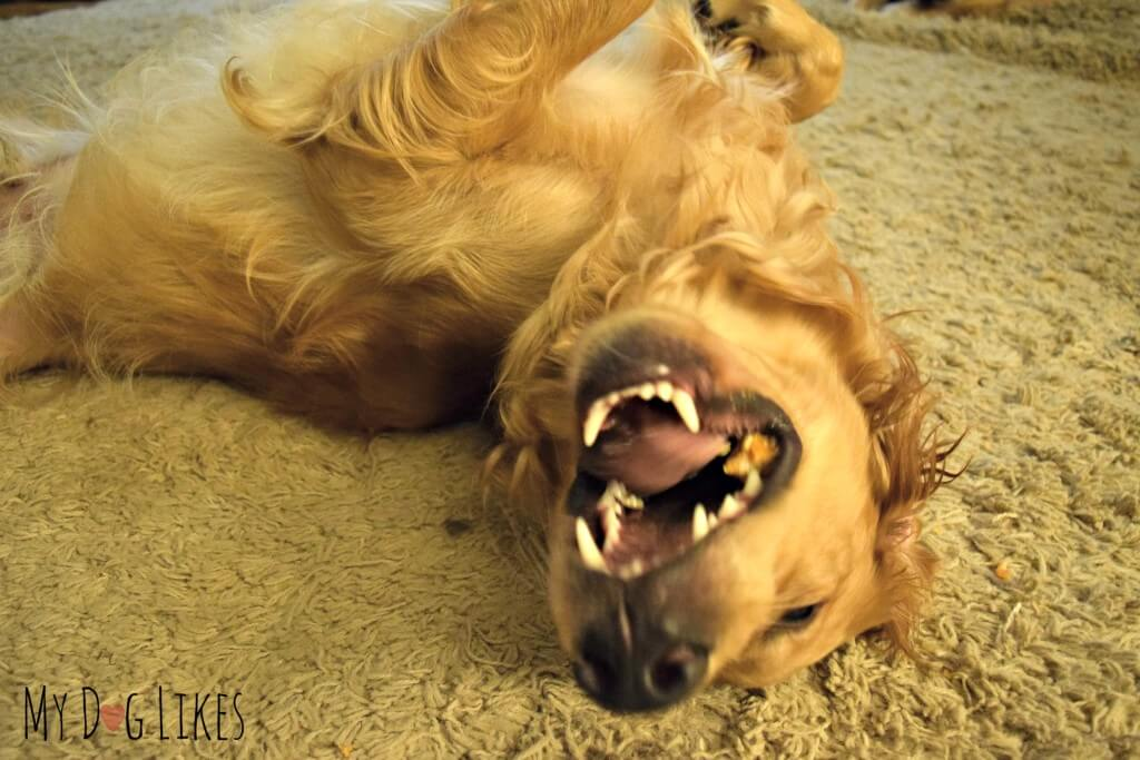 An ecstatic Golden Retriever enjoying a Himalayan Dog Chew