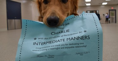 Charlie posing with his diploma after passing his Intermediate Manners class at Lollypop Farm