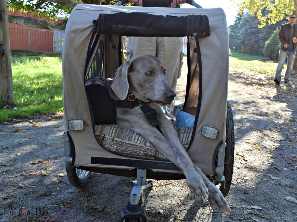This pup still made the walk thanks to his disabled dog cart!