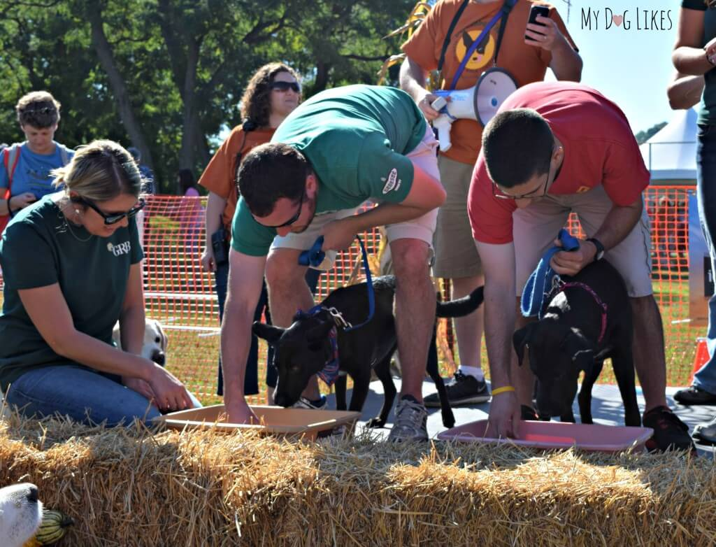 Watching the Hot Dog Eating Contest at Lollypop Farm's Barktober Fest