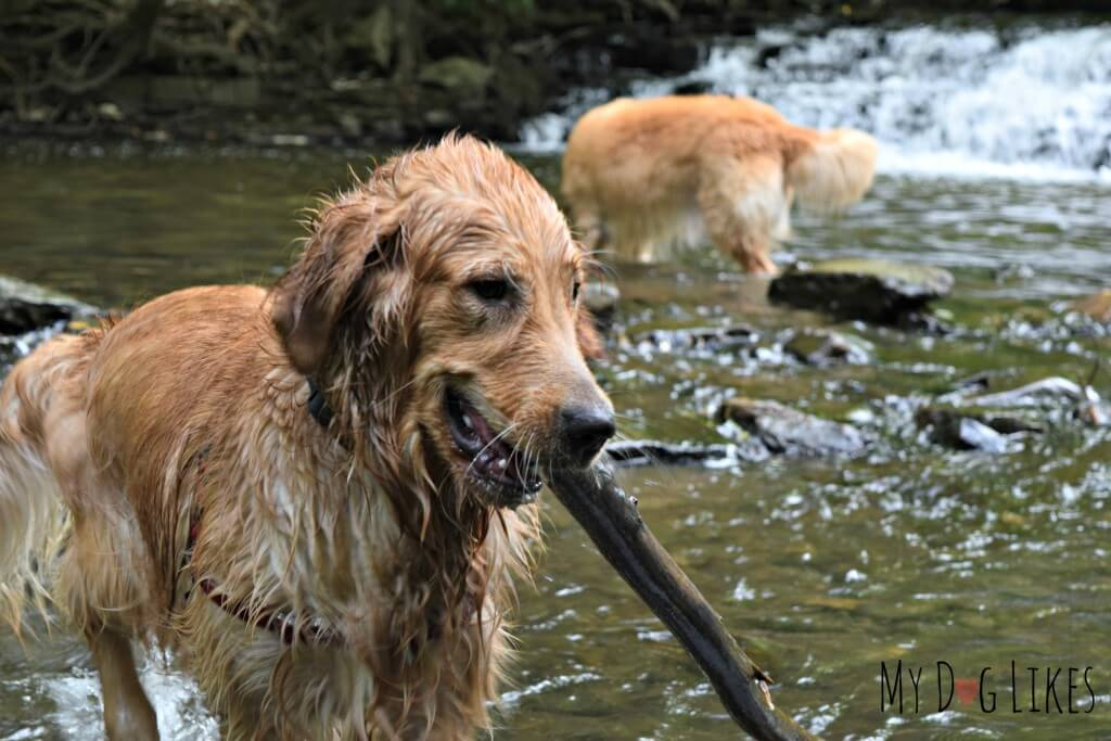 Harley and Charlie playing in Allen's Creek at Corbett's Glen