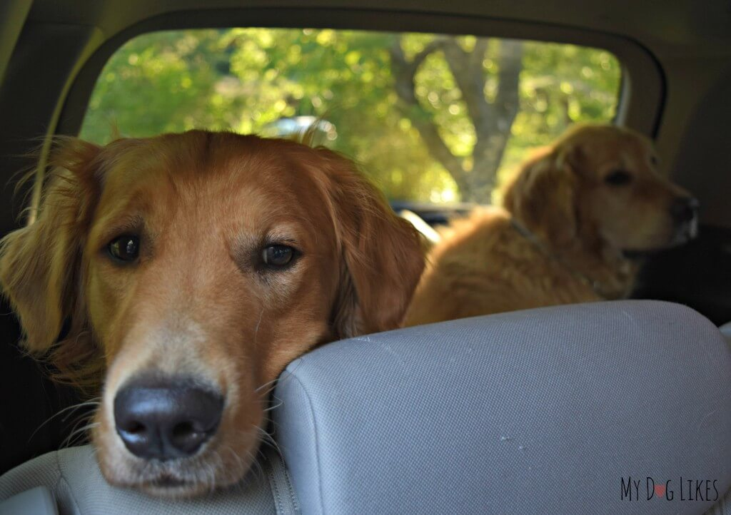 Dogs riding in SUV