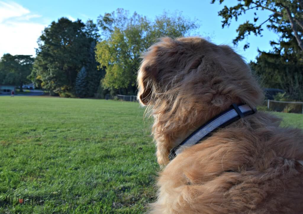 Our Golden Retriever Harley resting at the park during our daily walk.
