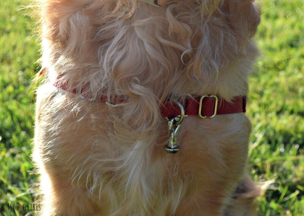 The MagicLatch dangle attached to Charlie's harness (NOTE: This should not be used on a chest harness as pictured!)