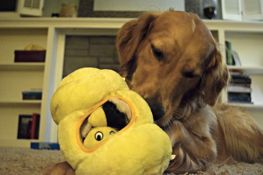 Charlie playing with his Kyjen Hide-a-Bee interactive dog toy. This toy comes with several plush bees to hide inside the hive and your dog will love trying to get them out!