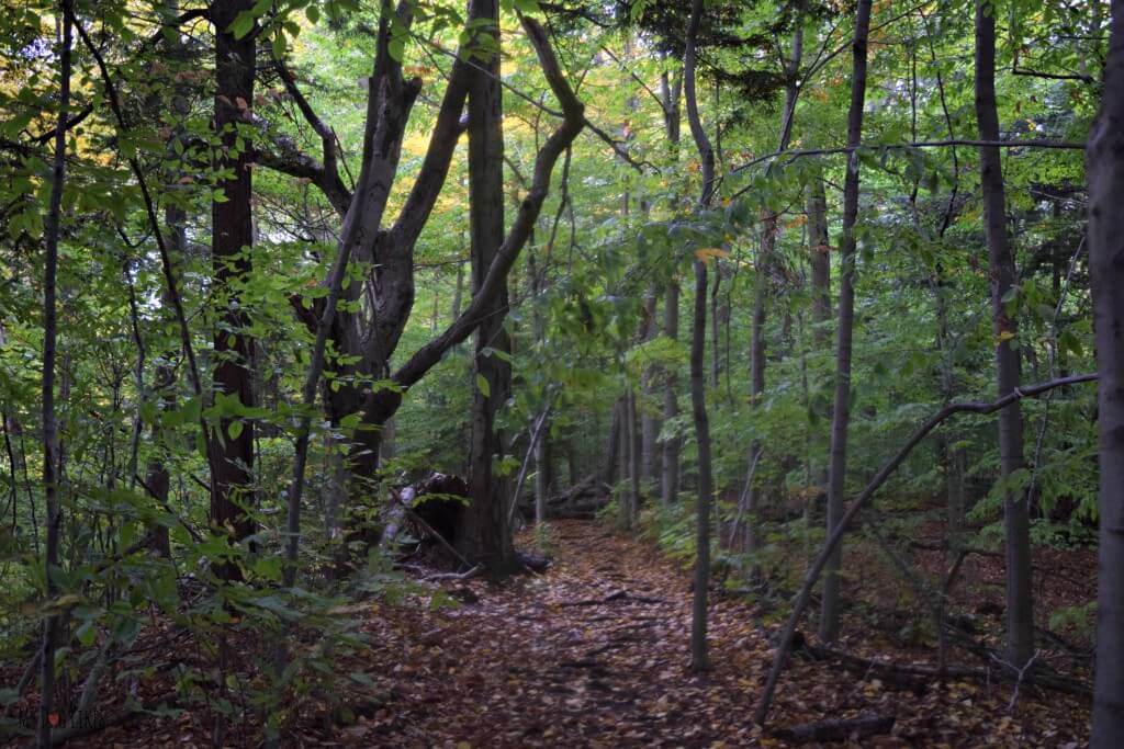 Some of the Old Growth Forest in Gosnell Big Woods near Rochester, NY
