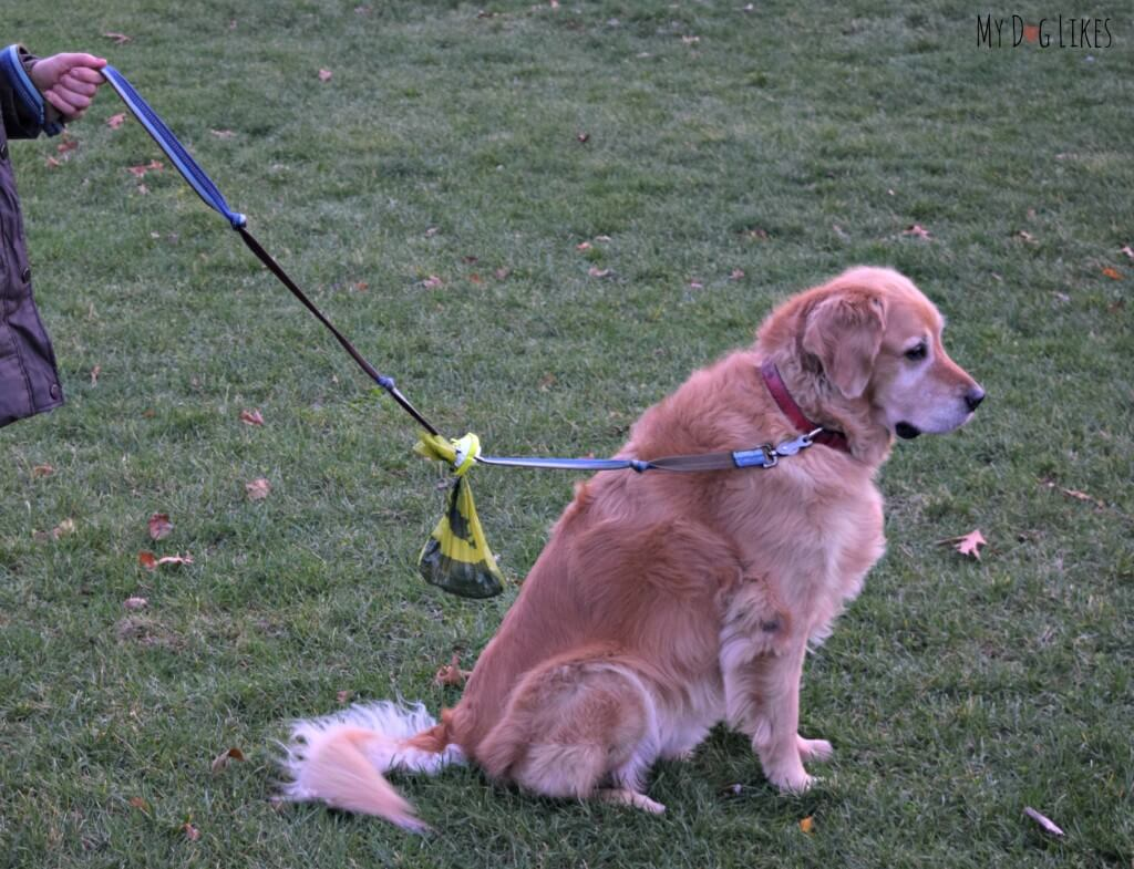 MyDogLikes testing out The Fifth Paw Leash Attachment