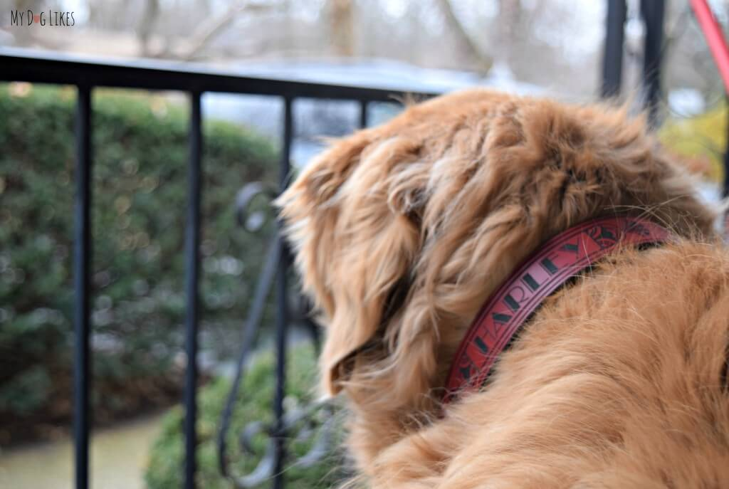 Our Golden Retriever Harley wearing his beautiful RUHA Dog Collar. These leather dog collars are laser engraved and very durable.