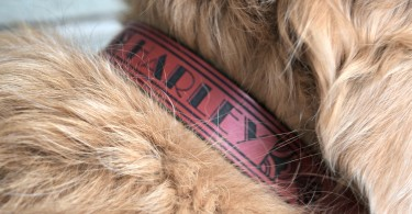 Our Golden Retriever Harley wearing his new leather dog collar from RUHA!
