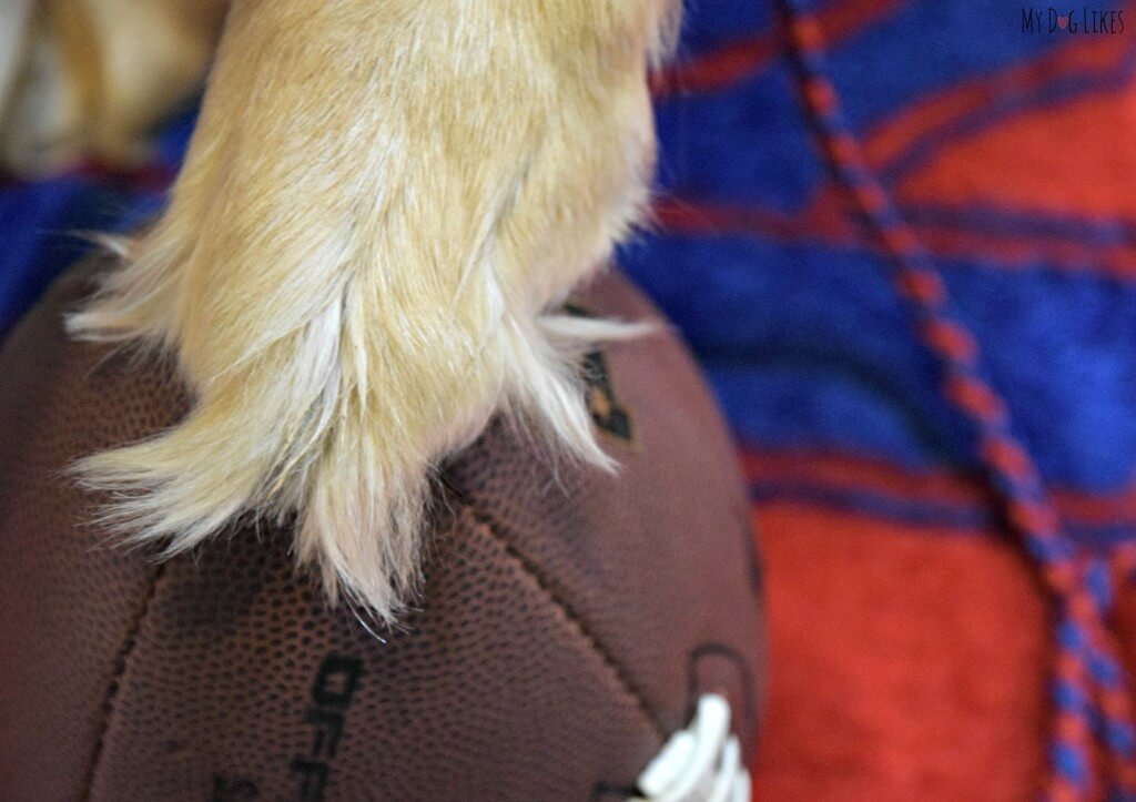 Our Dog Harley ready to snap the football for the big game!