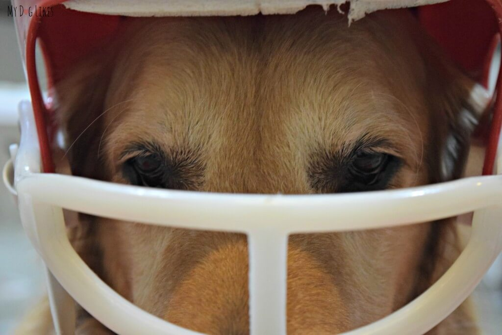 Harley wearing his football helmet in preparation for the big game! Visit MyDogLikes for lots of cute and funny dog pics!