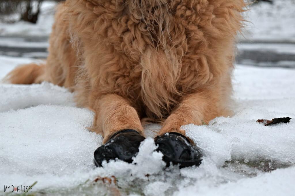 Harley wearing Pawz waterproof dog boots