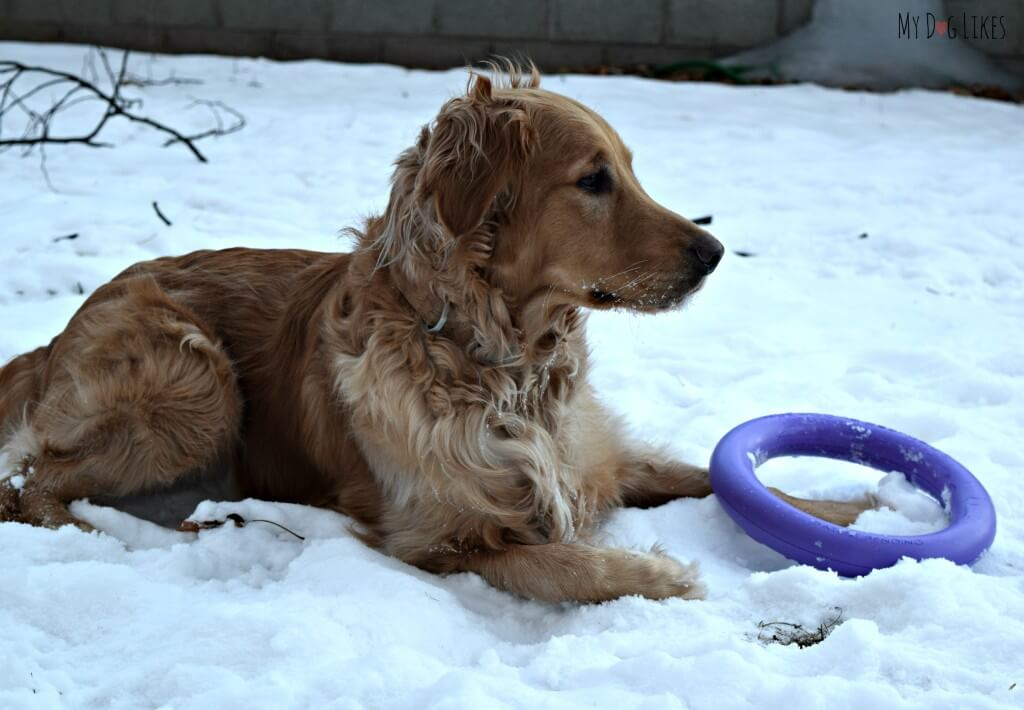 Charlie taking a quick break during a play and exercise session with the Puller Dog Toy