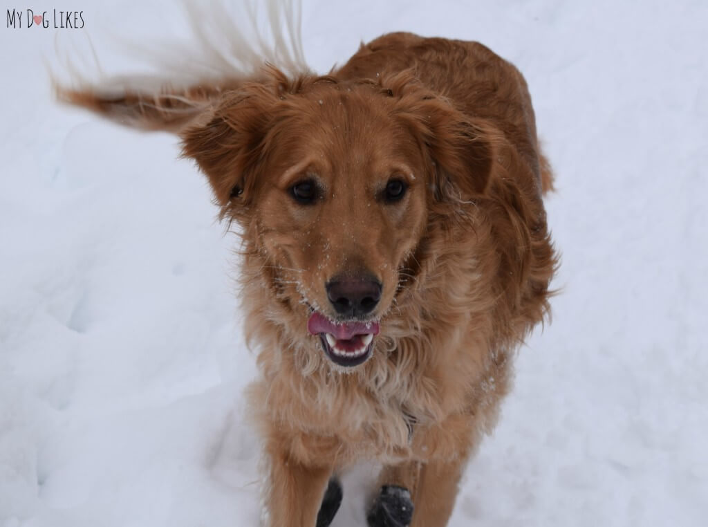 Charlie, our Golden Retriever dog running at Black Creek Park