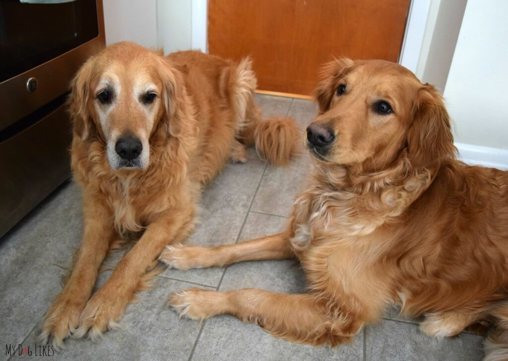 Our Golden Retrievers Harley and Charlie waiting patiently for a treat!