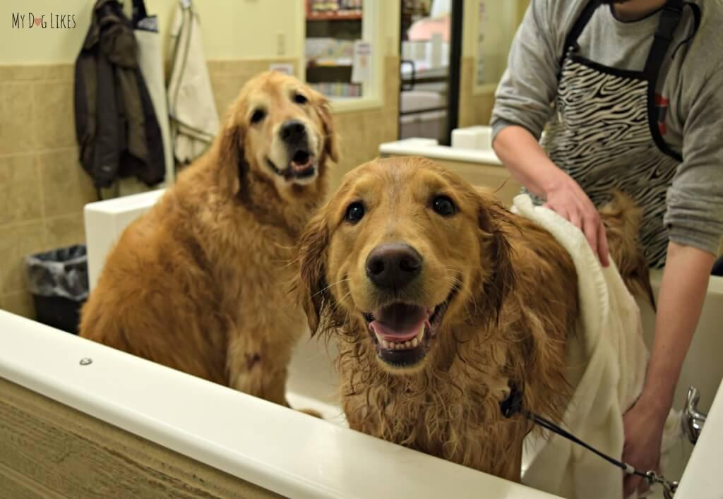 Harley jumped into the dog bath tub while we were giving Charlie a bath!