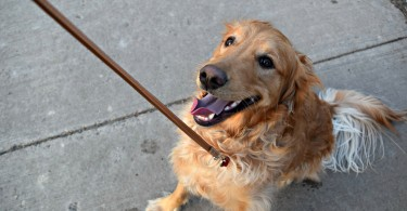 Our Golden Retriever Charlie is ready for a walk! Nothing beats a good stroll with your best friend!