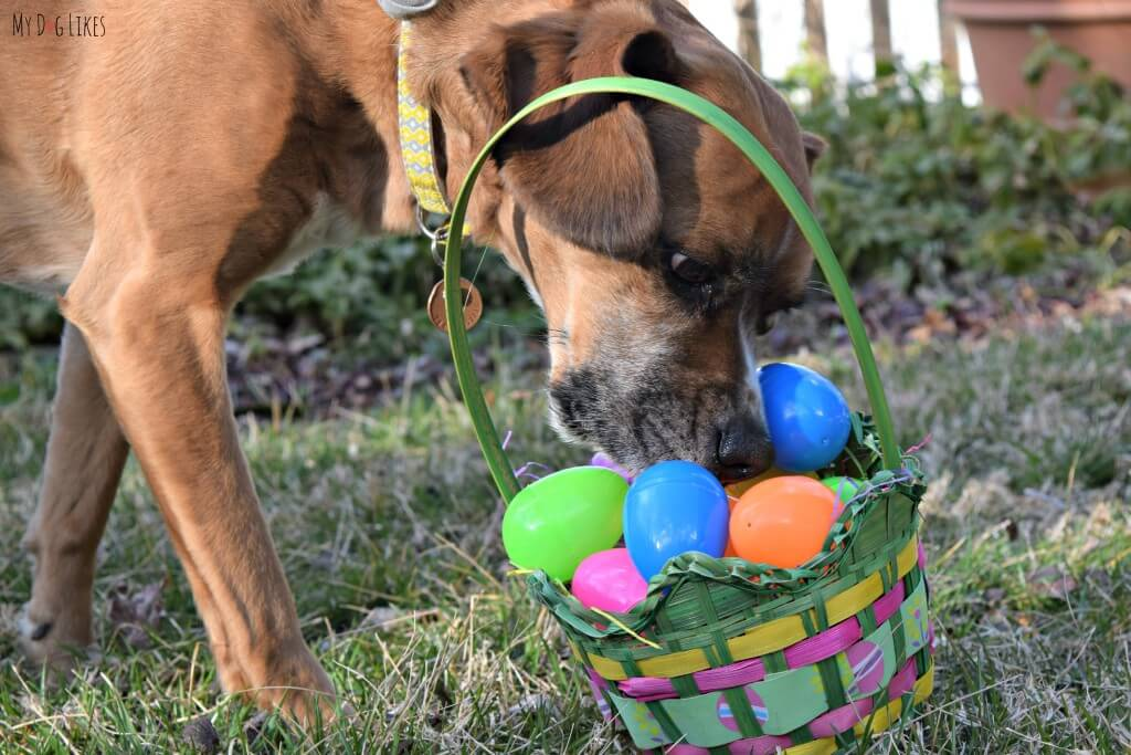 Using a bit of Nosework to find the treats in our dog Easter egg hunt!