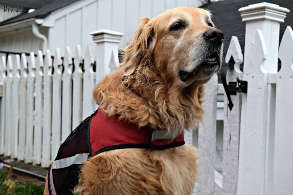 Our Golden Retriever Harley is a Dog on a Mission!