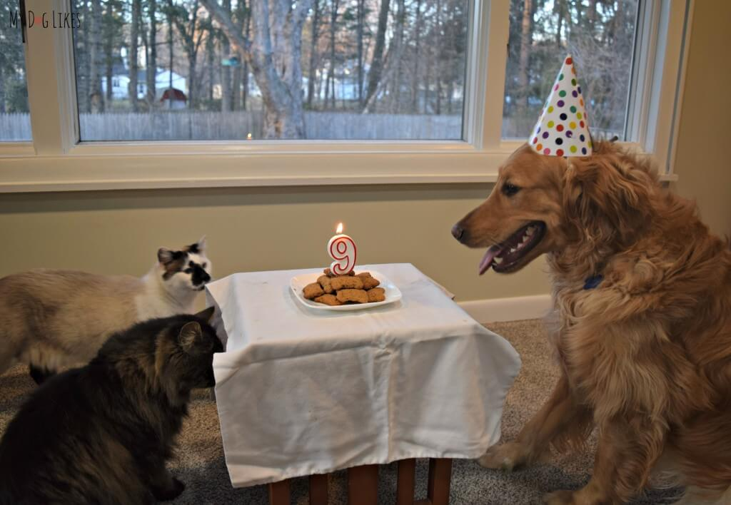 Looking for dog birthday party ideas? How about a dog biscuit birthday cake - and don't forget to invite the cats!