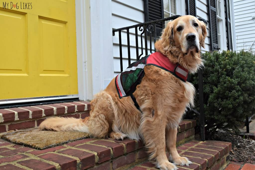Harley testing out the PooBoss K9 Vest for the MyDogLikes review!